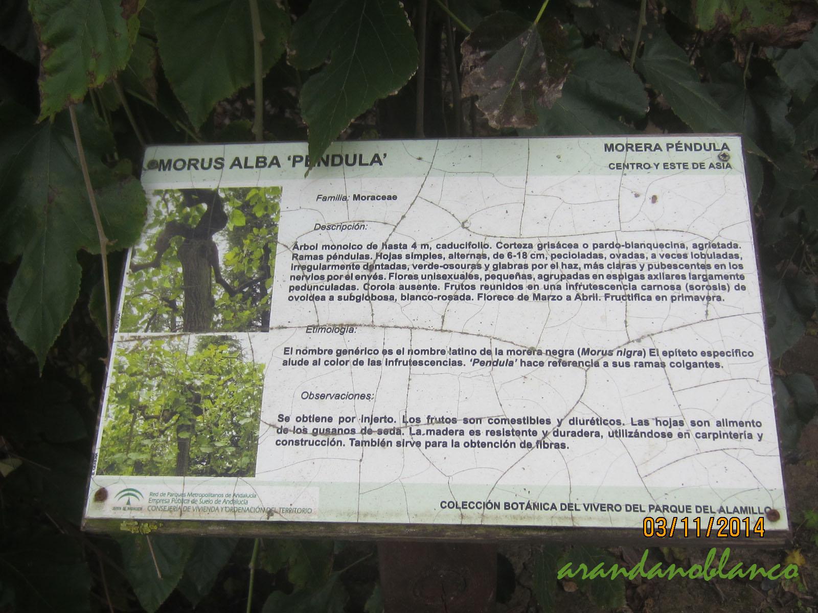 Parquealamillo encinarosa morus alba p ndula morus for Vivero del parque