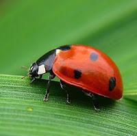 mariquita escarabajo