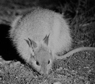 Rufous hare-wallaby (Lagorchestes hirsutus)