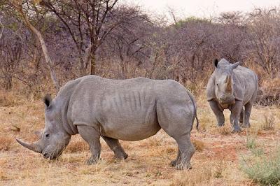African-White-Rhino