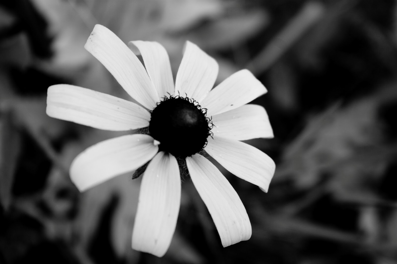 Black and white flowers black flowers pictures mightylinksfo