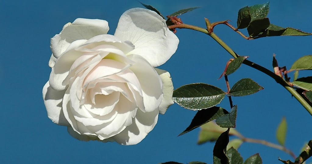 natural white rose with leaves
