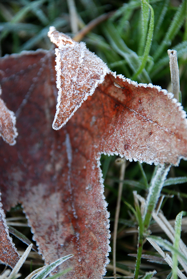 Leaf with frosted edges