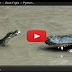Python vs Alligator -- Real Fight -- Python attacks Alligator