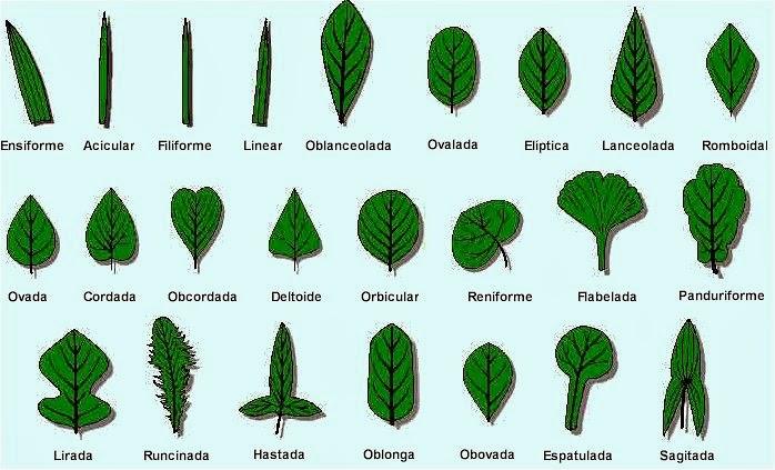 Valdepl stica dibujando hojas y plantas Nombres de plantas comunes