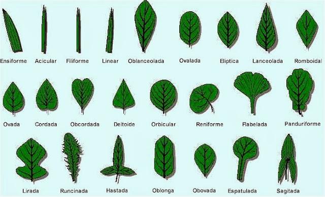 Tipos de hoja de plantas imagui for Tipos de arboles y caracteristicas