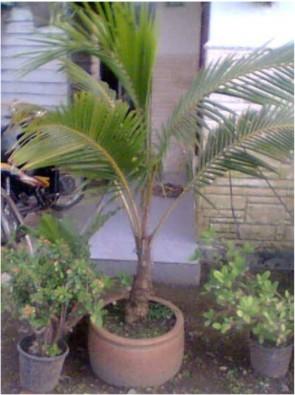 jual bonsai kelapa gading usia 12 tahun