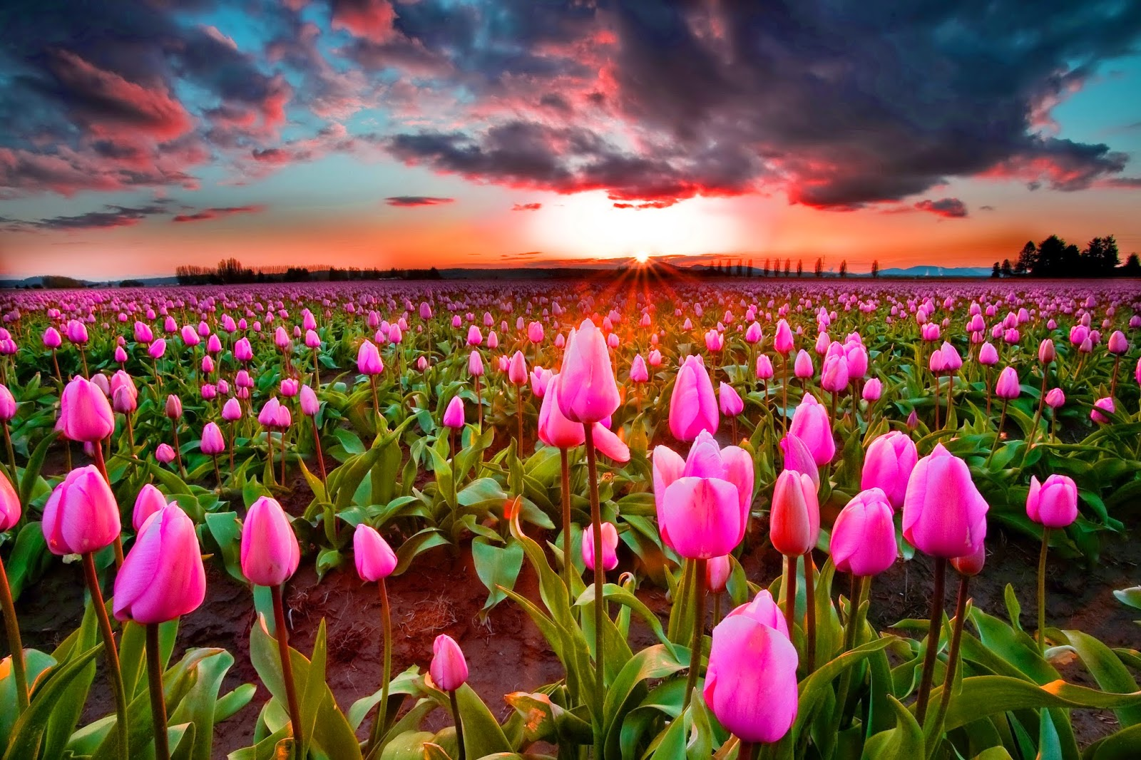 Campo de tulipanes al atardecer