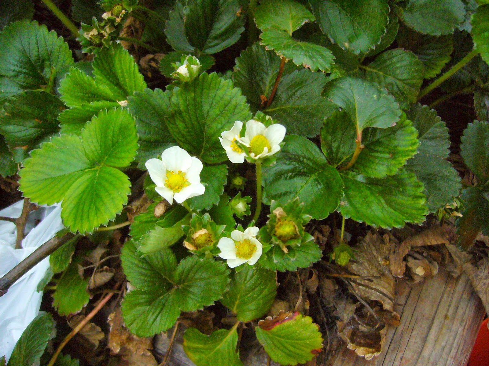 Sacramento vegetable gardening strawberries for the soul - Plant strawberries spring ...