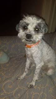 Χαθηκε στις 30 / 01 στο Μοσχατο θηλυκό σκυλάκι που ακούει στο όνομα Γοβίτσα
