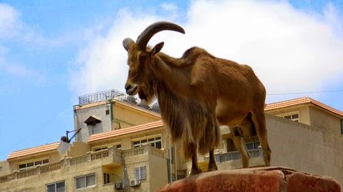 صور وعل جبلى حديقة الحيوان بالاسكندرية