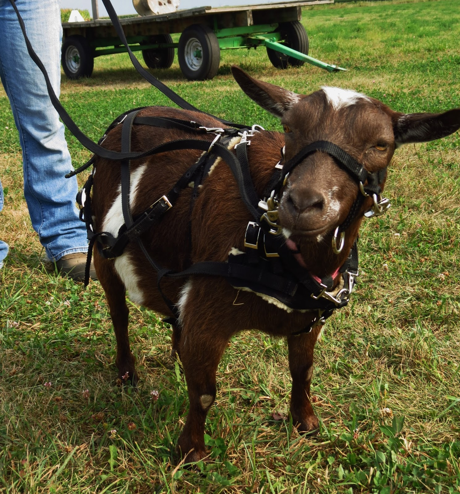 IMG_8236 working goats beginning the long haul the thrifty homesteader goat harness at crackthecode.co