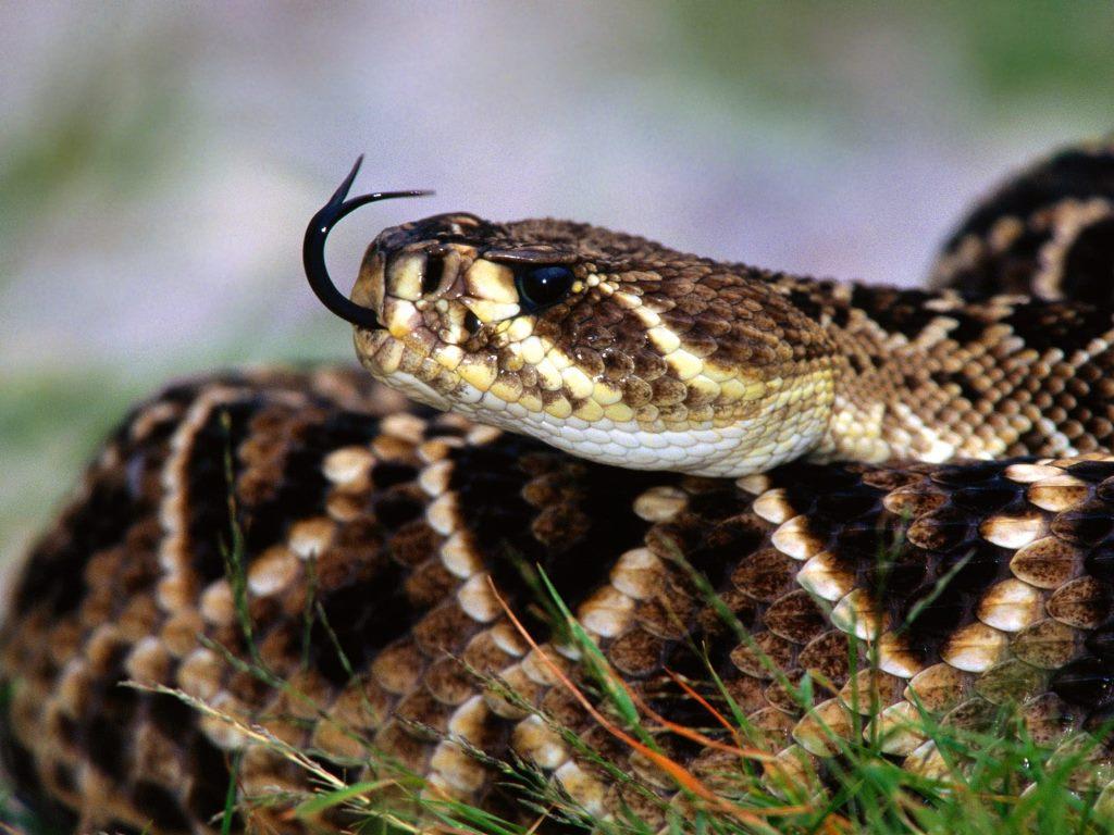 Black Mamba Snake Wallpaper Black Mamba HD Images New