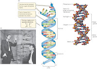 James Watson and Francis Crick. James studied DNA structure their findings