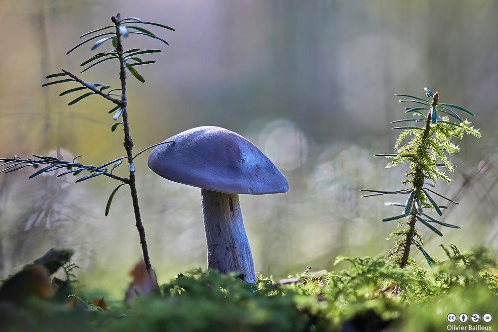 Encore des champignons - Application pour reconnaitre les champignons ...