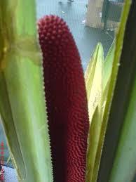 buah merah