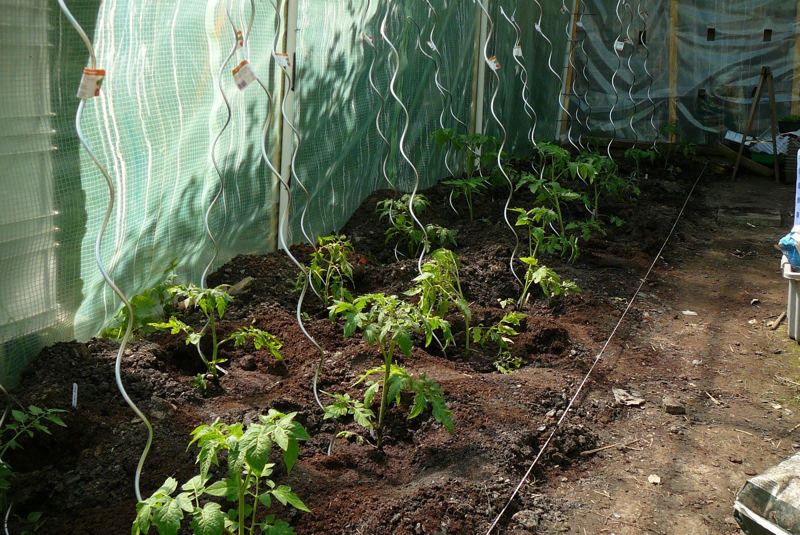 Les jardins du laveu ce samedi 7 mai plantation des tomates - Plantation de tomates ...