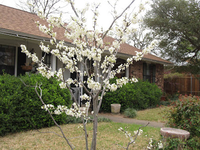 Annieinaustin,Texas Whitebud, Cercis variety