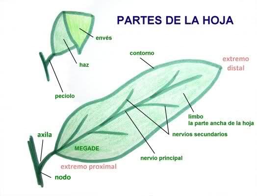 Dibujos de la hoja y sus partes imagui for Un arbol con todas sus partes