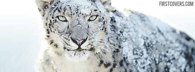 "<img src=""http://4.bp.blogspot.com/-1QpDTis5qC8/Ue1eJW4edZI/AAAAAAAACzw/A_vnpwc5OWo/s1600/snow_leopard-2072.jpg"" alt=""Animal Facebook Covers"" />"