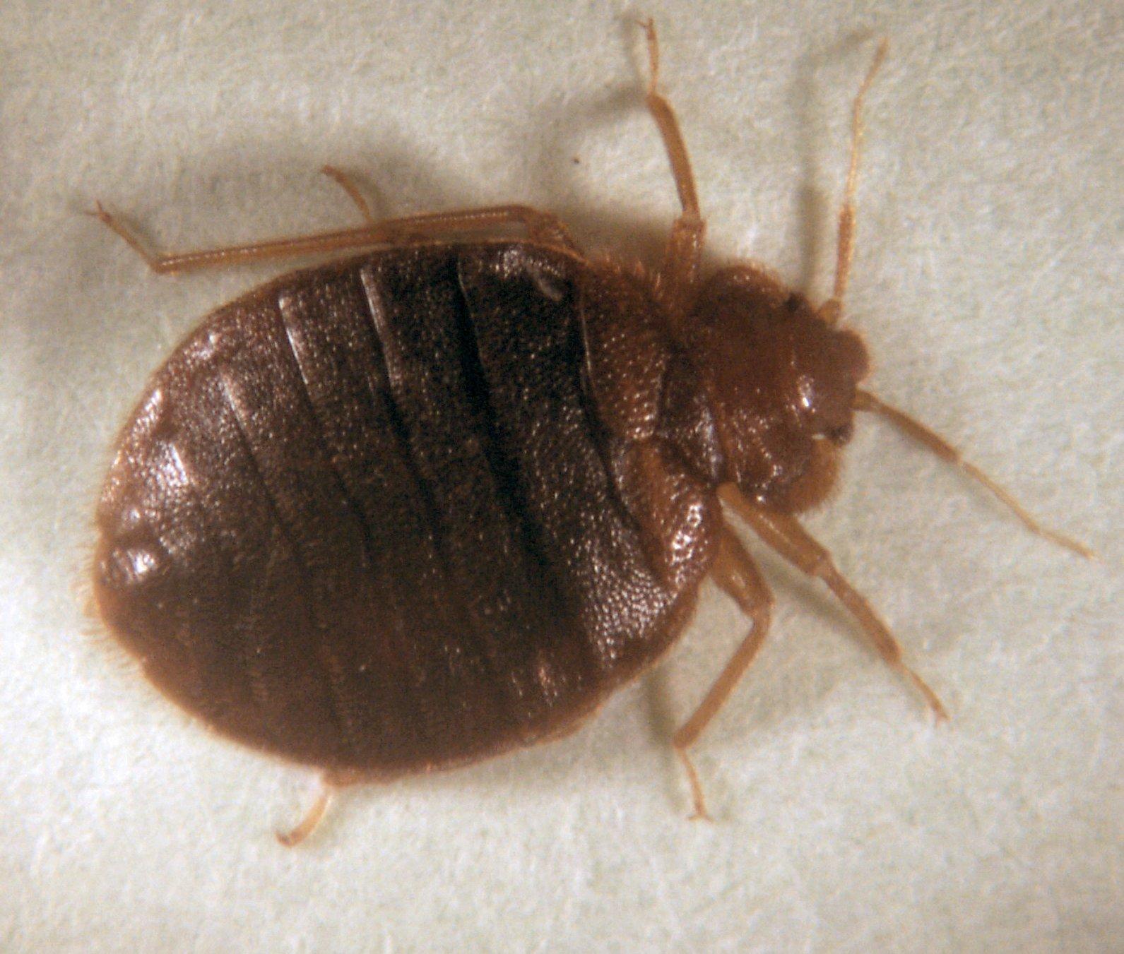 Bed Bug  Brooklyn