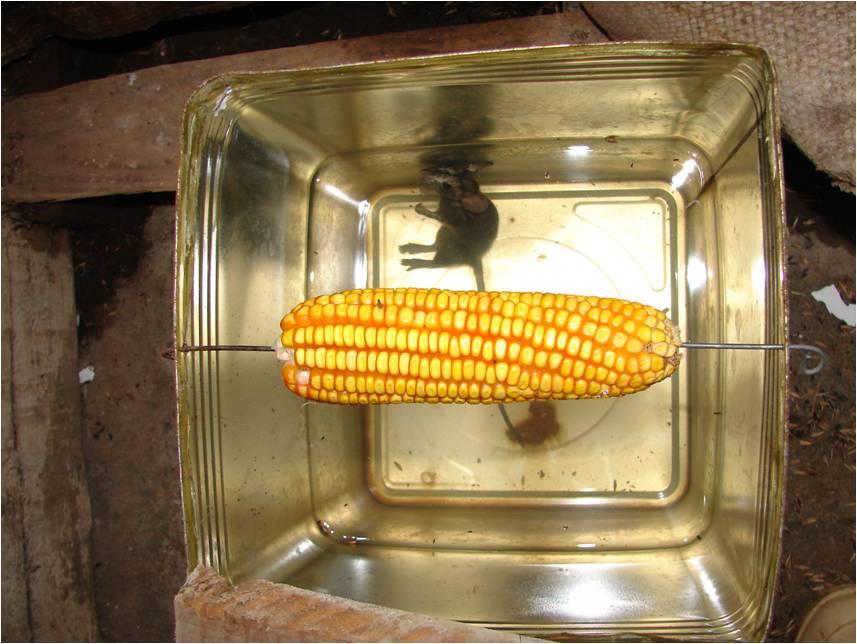 controle ecol gico de ratos cultivo organico