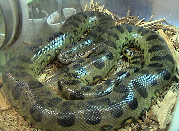 Green Anacondas | Dangerous Snakes In The World | The Wildlife