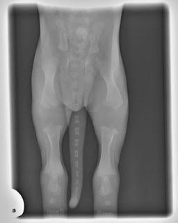 raio X de cães
