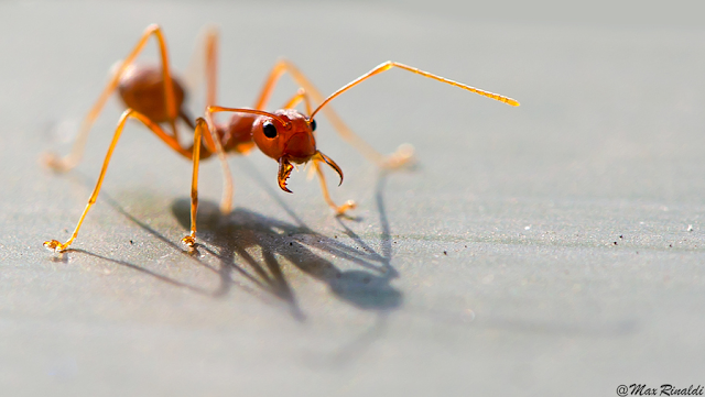 Fire Ant Close-Up