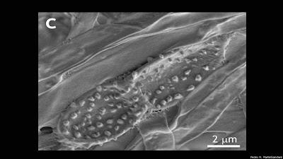 شاهد : عشرة أنواع جديدة من الكائنات الحية 130524161621_ochroco