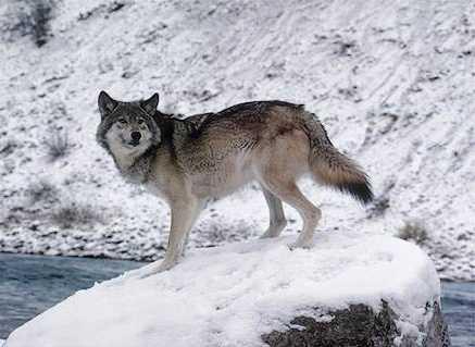 Lobo sobre una roca con nieve