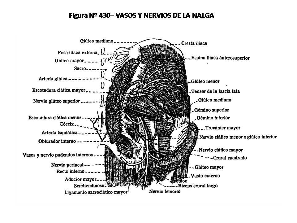 ATLAS DE ANATOMÍA HUMANA: 430. VASOS Y NERVIOS DE LA NALGA.