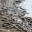 Thousands of dead fish wash ashore along the coast of Chennai, India.