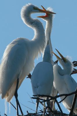 Mother and Juvenile Great Egrets, UT Southwestern Medical Center