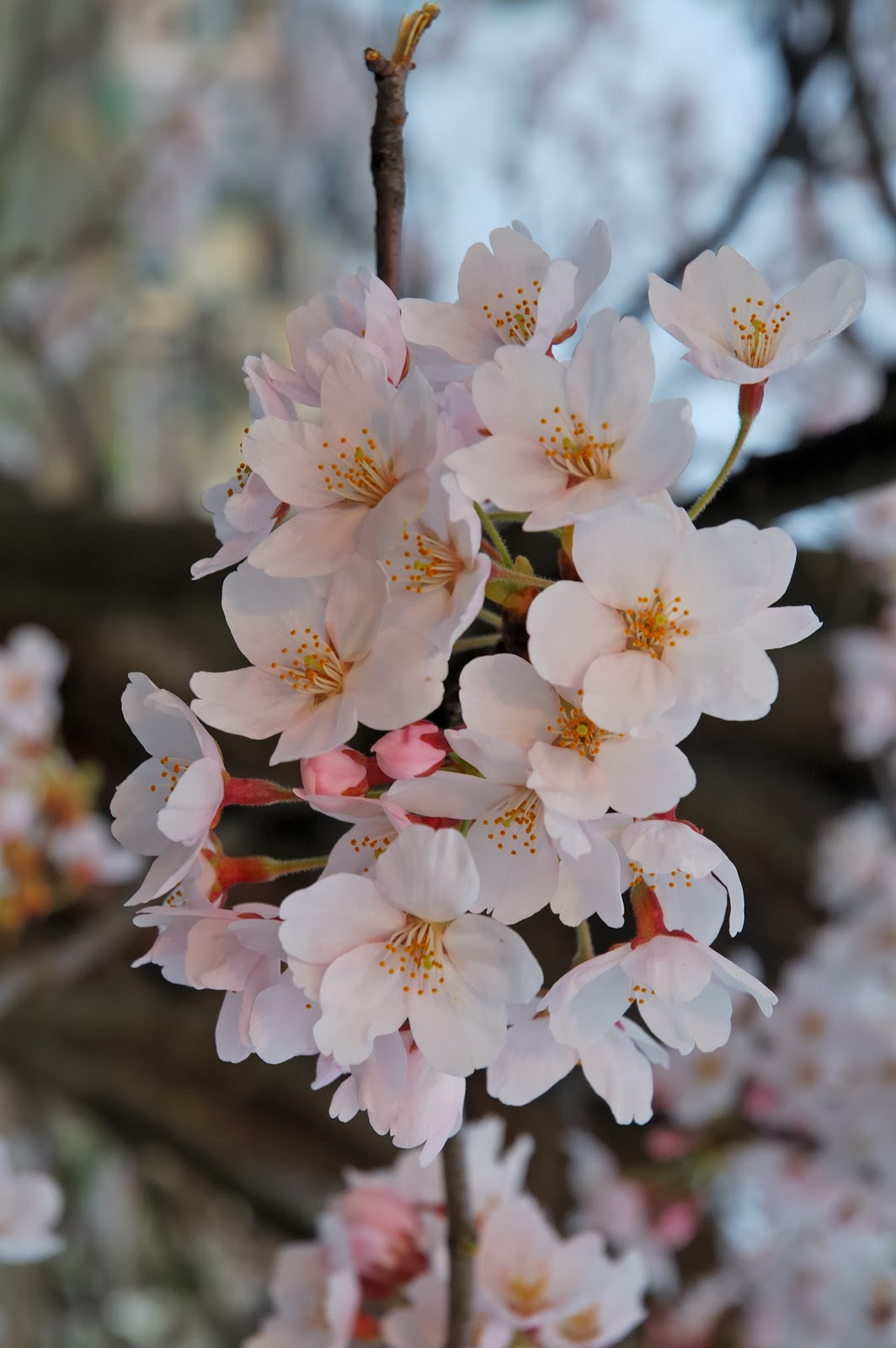 blossoms  sakura : well over 200 cultivars can be found there