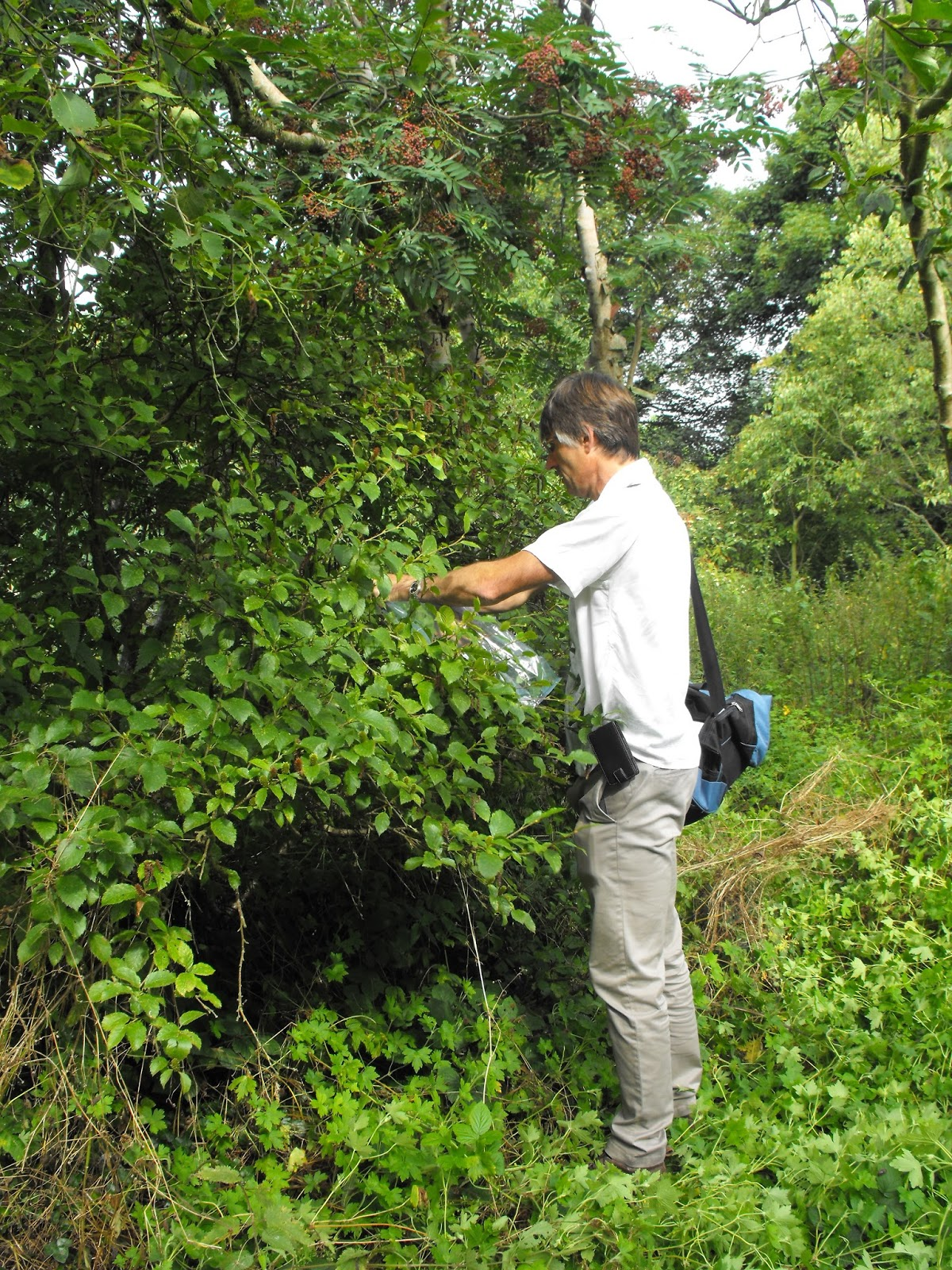 Dendrologists blog paul collects foliage samples for comaprison with the plants at stone lane gardens workwithnaturefo