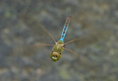 Common Green Darner (Anax junius)
