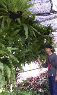 jual pohon kadaka