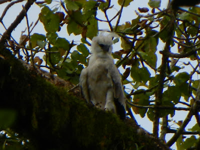 Young Harpy Eagle