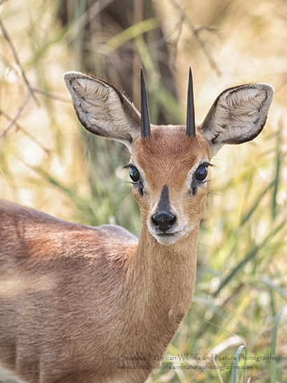 Portrait of a Male Steenbok