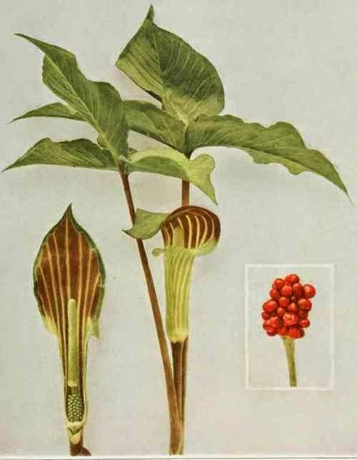 Arum Triphyllum- ஆரம் ட்ரைபைலம்