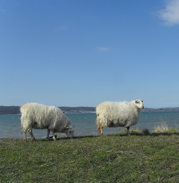 Sheep on the beach at Penrhyn Country Park near Bangor