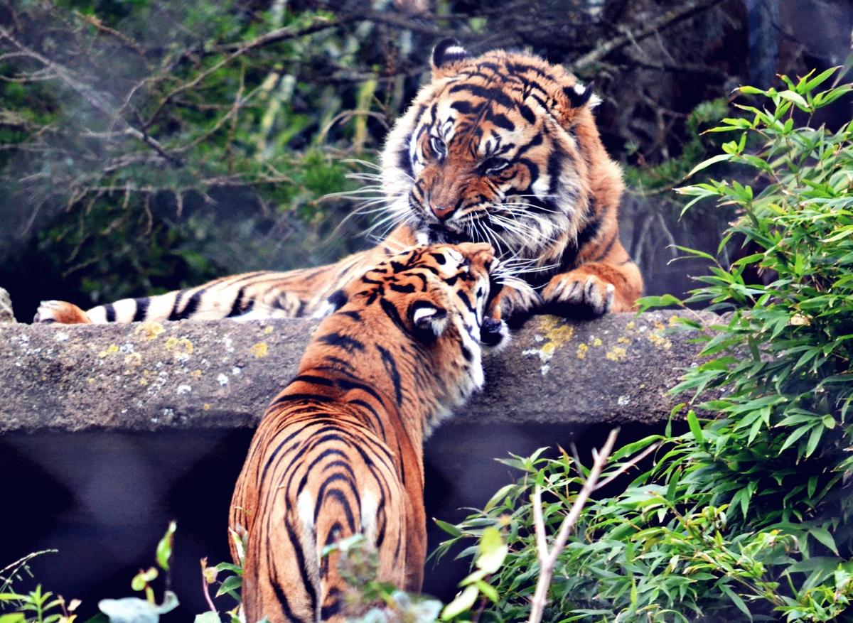 real tiger face
