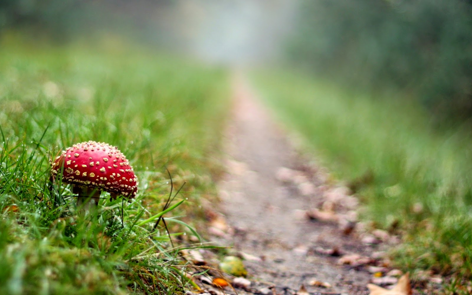 wallpaper-amanita-muscaria-red-mushroom-beautiful-mushroom-macro-photography