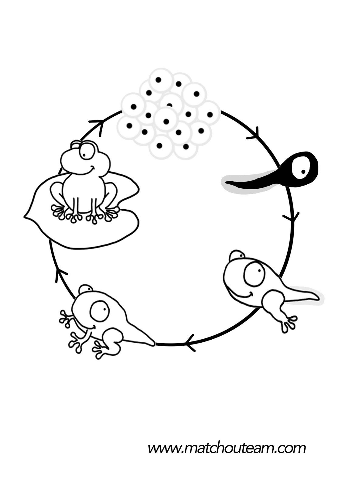 coloriage cycle de vie de la grenouille