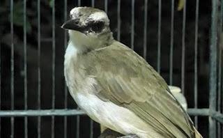 cara-agar-burung-trucukan-gacor_566+4