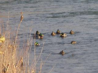 Patos en el Ebro Zaragoza
