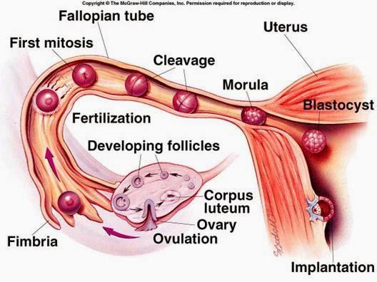 Ciencias de Joseleg: Función de las trompas de Falopio