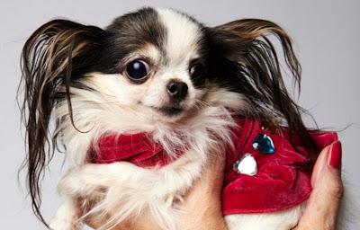 Boo Boo Chihuahua