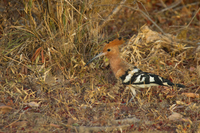 A photograph of a Common Hoopoe taken in Yala, Sri Lanka